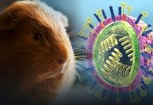 Guinea Pigs are the cause of spreading Influenza virus