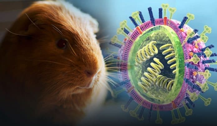 Guinea Pigs are the actual cause of spreading of Influenza virus